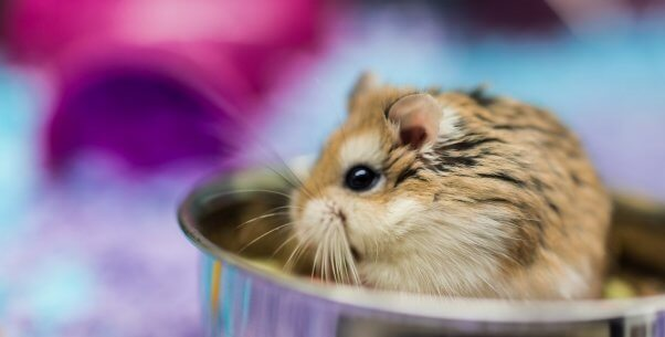 Tiny hamster sitting in food bowl eating