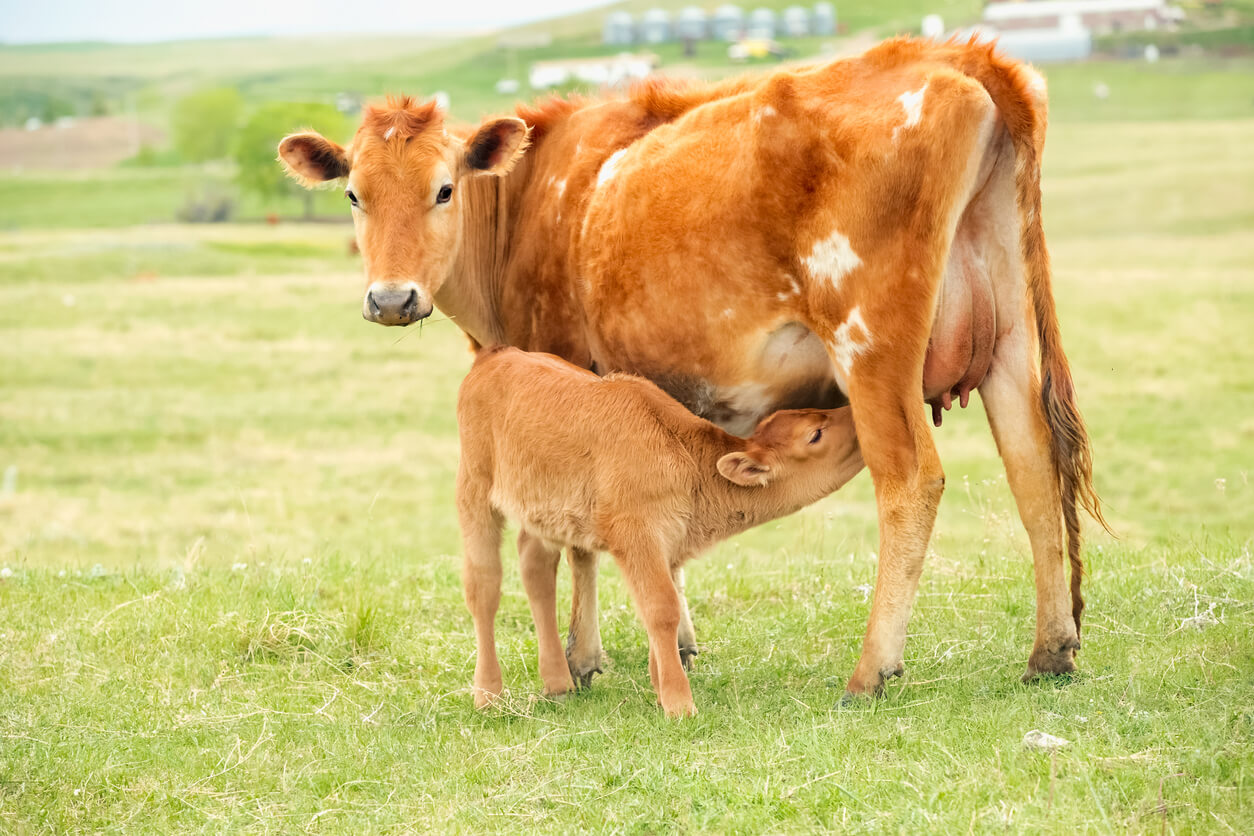A pretty Jersey cow feeding her baby calf in a green grassy pasture on a Montana ranch. No people in this high resolution color photograph with horizontal composition.