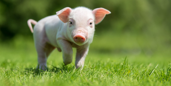 5 Compassionate Ways to Celebrate the 'Year of the Pig' in Your Classroom