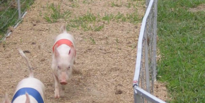 Research paper on pigs