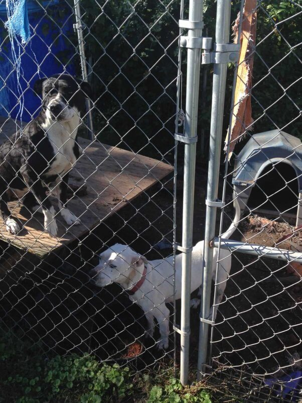 Two dogs in filthy pen, Ellie on roof of doghouse