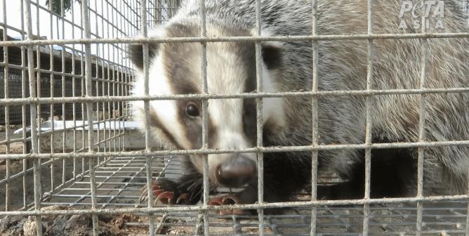 Groundbreaking Investigation: PETA Asia Exposes Extreme Cruelty in Badger-Brush Industry