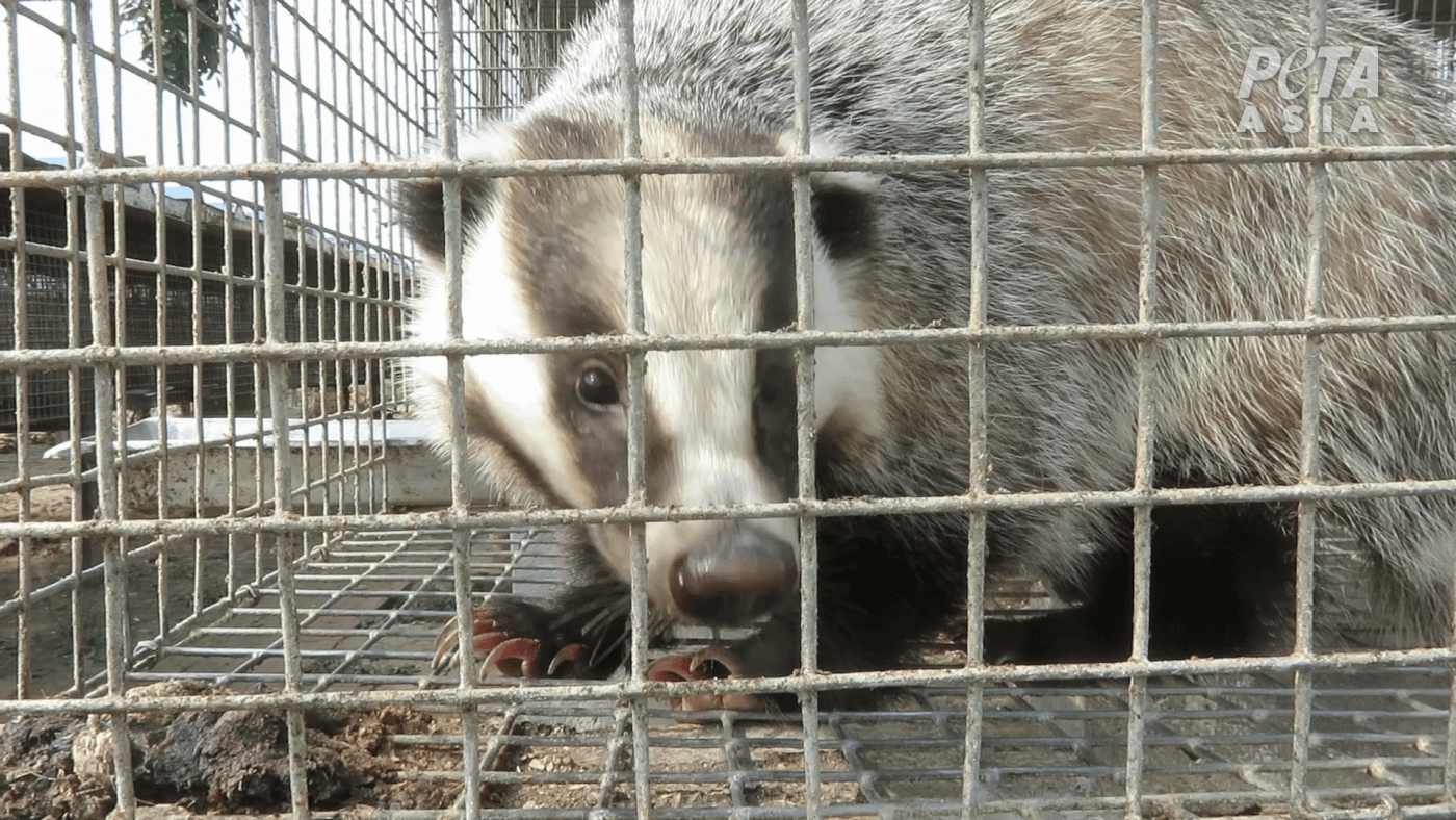 badger in tiny cage