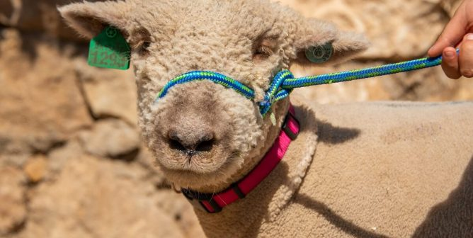 TeachKind Rescue Stories: Songwriter and Student Save Lamb From Slaughter