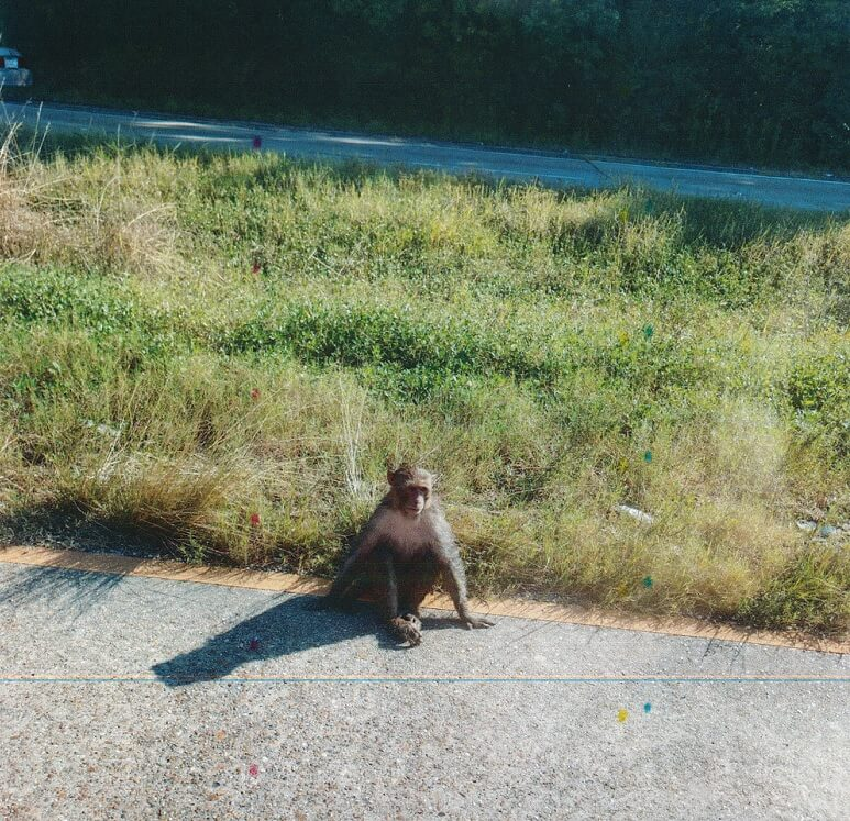 Escaped Monkey from New Iberia Research Center.