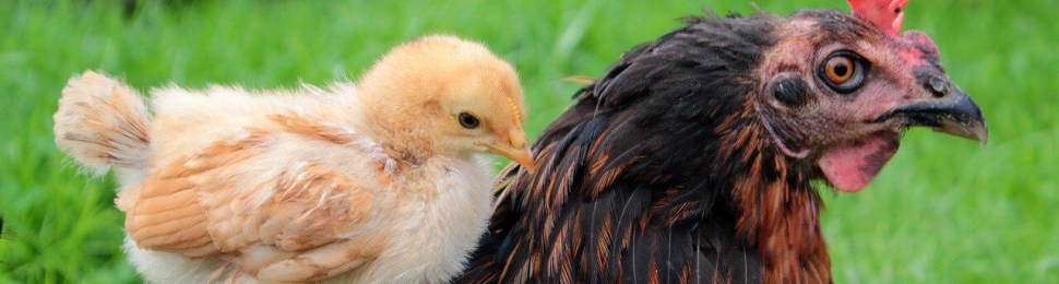 A mother hen with her chick on her back, in green grass