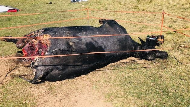 crew blows whistle after cows bodies reportedly mutilated for
