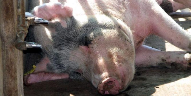 A Pig Suffered and Died at a TAMU Lab—When Will the Abuse End?