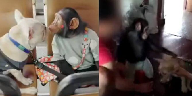 Dog and Chimpanzee Beaten to Force Them to Perform for Reality Show