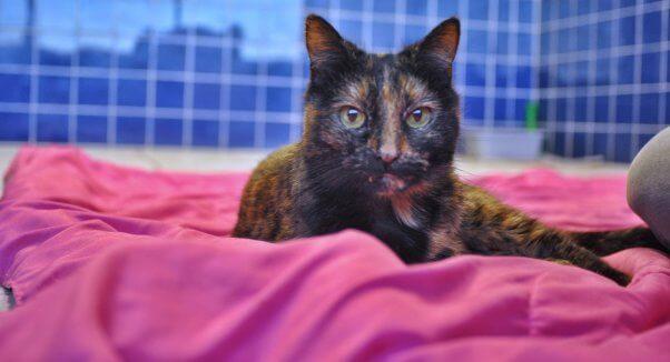 Pumpkin, a senior cat rescued by PETA