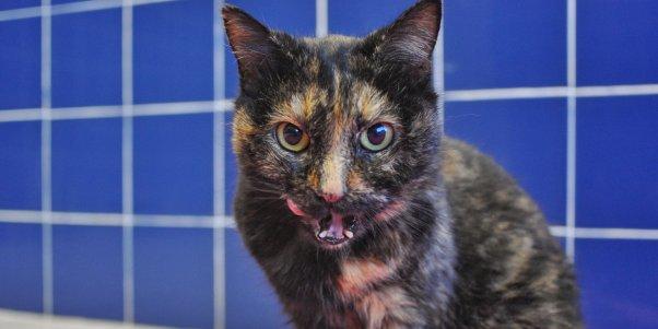Rescued senior cat Pumpkin licking her chops
