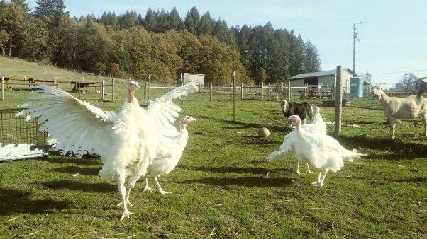 PETA Turkey rescue Thanksgiving