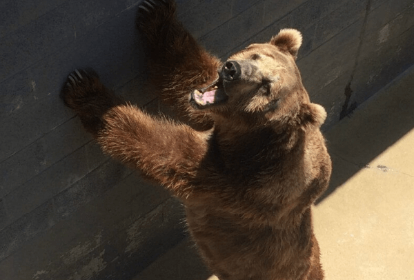 bear pits have always been cruel and must be closed immediately