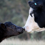 mother and baby cow kissing