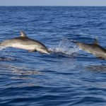 Two dolphins leaping out of the ocean