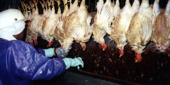 VIDEO: 'You're Required to Hang 28 Birds a Minute,' Tyson Whistleblower Says