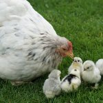 help chickens used for food