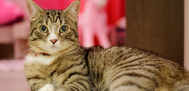 Brown-and-black tabby cat