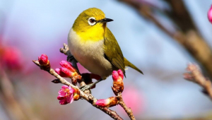 Small yellow bird on flowering branch