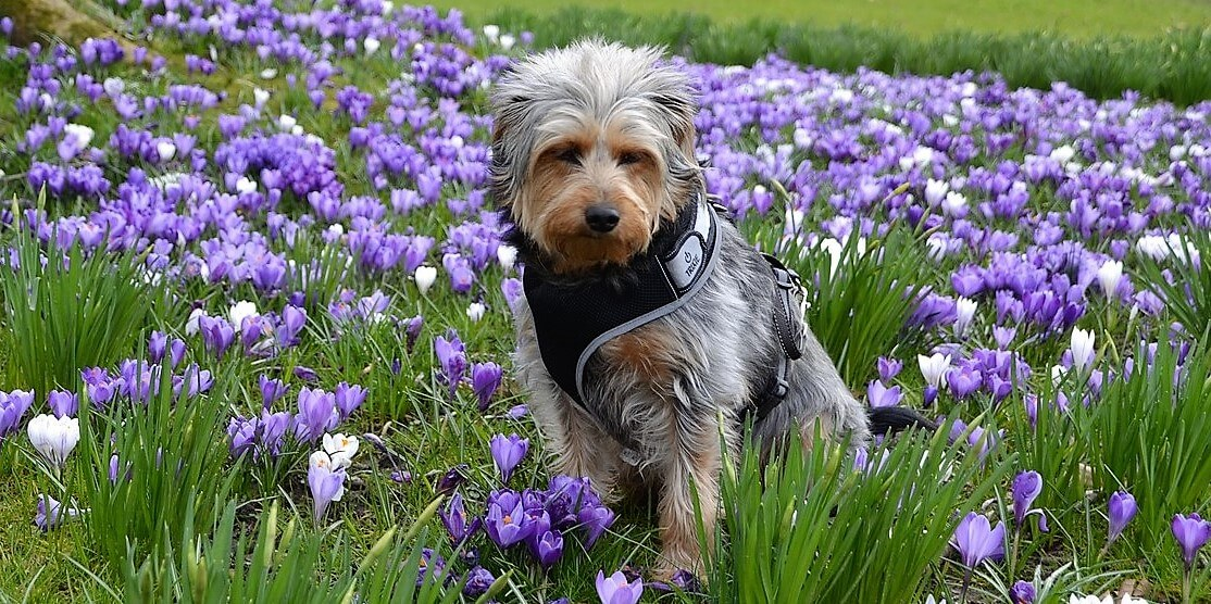 Cute brown mixed-breed dog with shaggy fur and harness