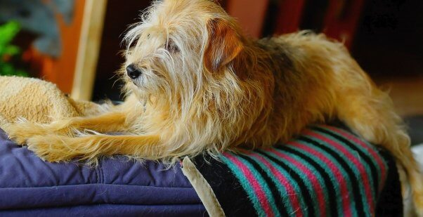 Small shaggy brown mixed breed dog lying on blue, pink and black blanket