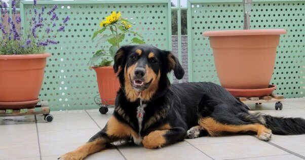 Large black and brown mixed breed dog lying on a terrace