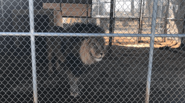 Samson, a big cat, in a cage at the Barry R. Kirshner Wildlife Foundation