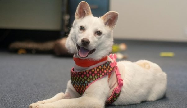 Rescued American Eskimo mix Crystal in her foster home