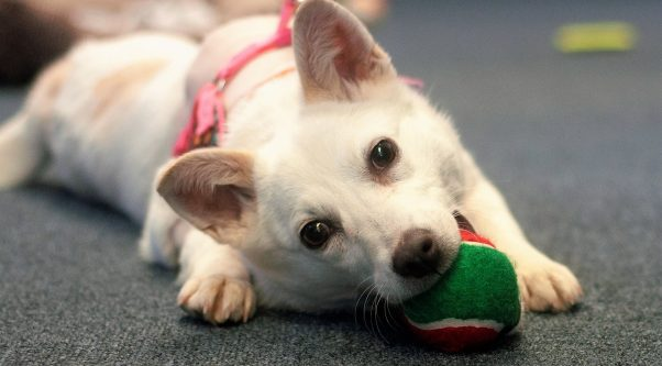 Crystal, an American Eskimo mix rescued by PETA, chewing on a toy