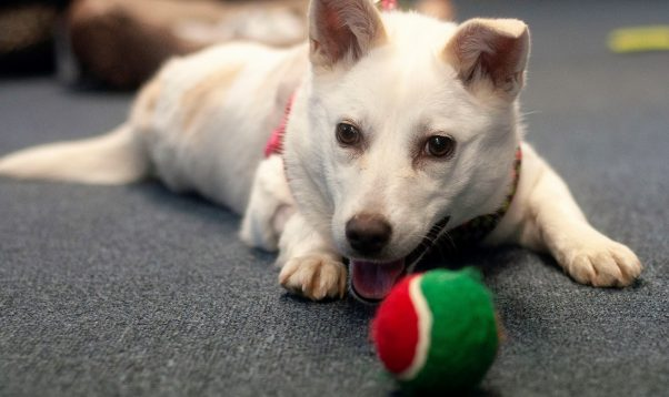 Rescued dog Crystal playing with ball in foster home