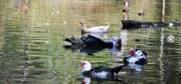 Herman swimming with other ducks