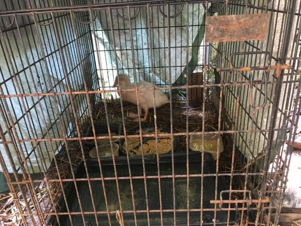 """""""Before"""" photo of Herman, a duck rescued by PETA, in a dark, filthy crate"""