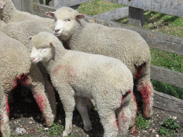 Lambs on a farm, with bloody severed tails.