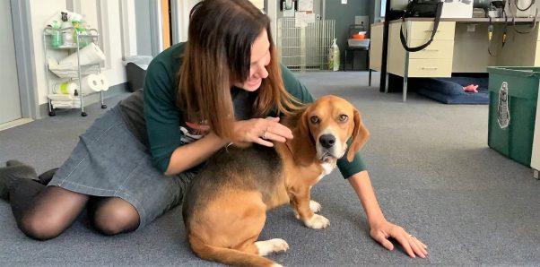 PETA staffer petting rescued beagle/basset hound mix Dylan