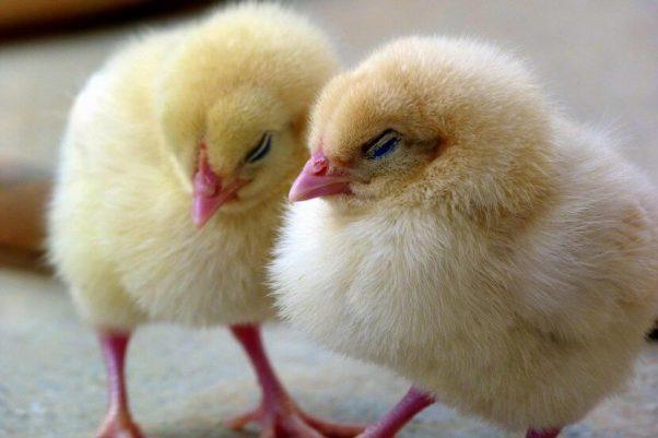 Chicks Falling Asleep