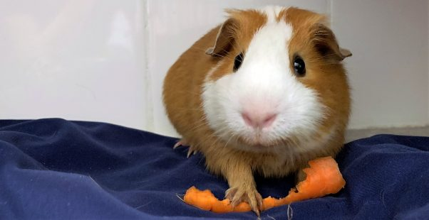 Cute brown-and-white guinea pig with a partially eaten carrot