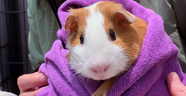Cute brown-and-white guinea pig wrapped in purple towel