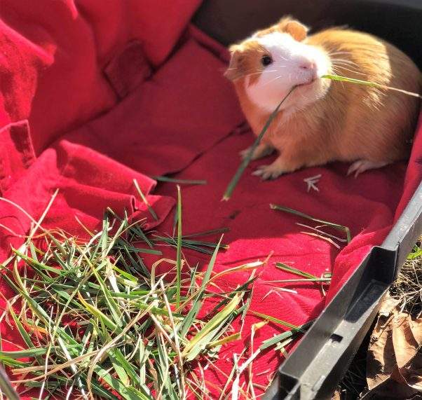 Thoreau, a brown-and- white guinea pig, eating hay