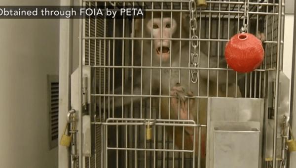 Urge UW Board of Regents to Close Down Cruel Primate Center
