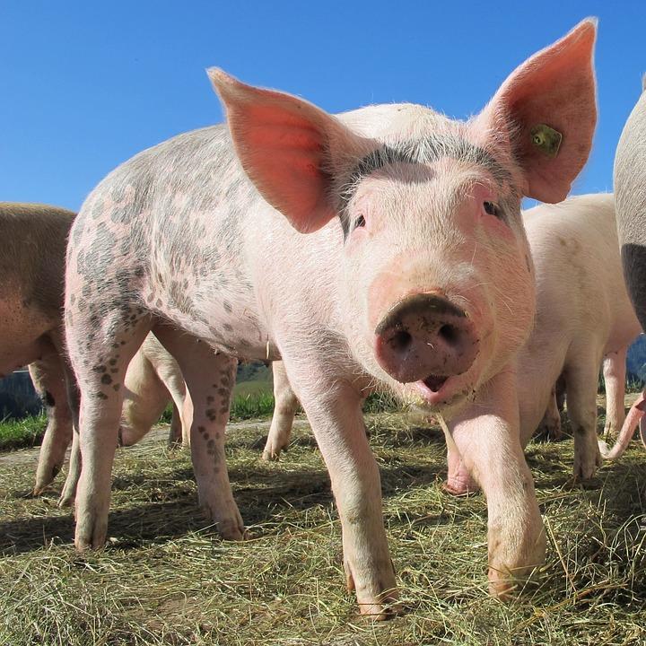 pig, explaining vegan to friends