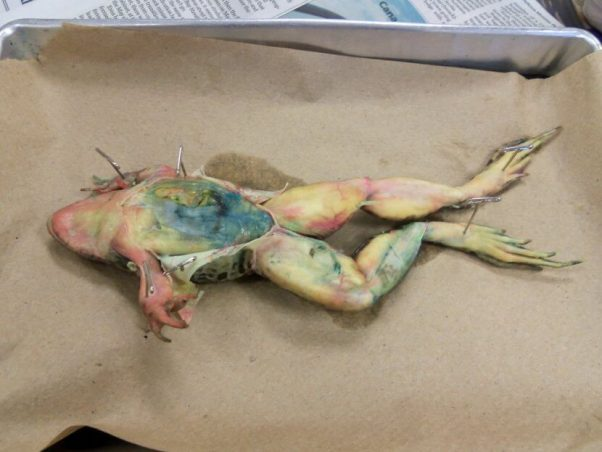 frog used for dissectin, what dissection really teaches you
