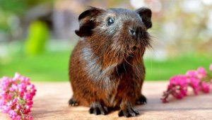 Brown guinea pig strikes dignified pose