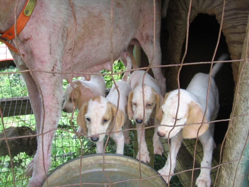 hunting dogs, FFA breeding