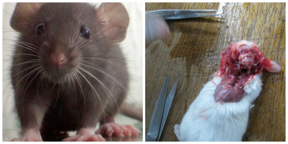 rat dissection, dissection cruelty