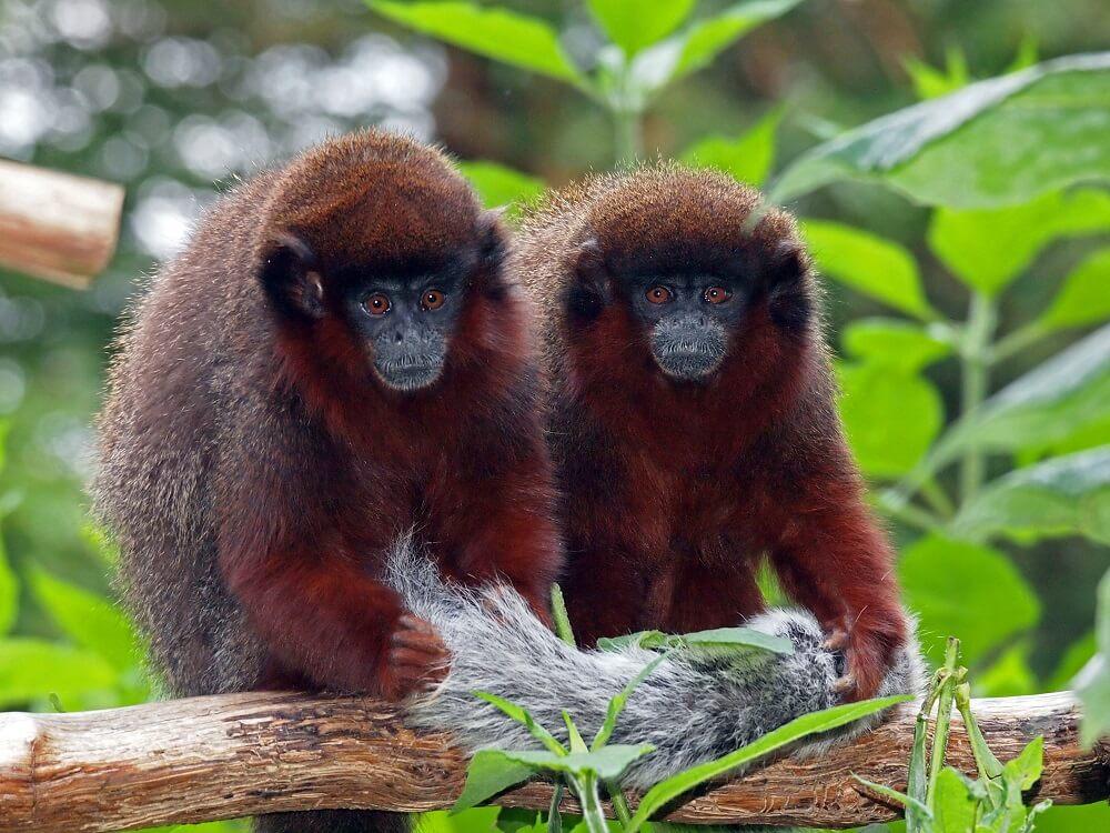 Two Red Titi monkeys