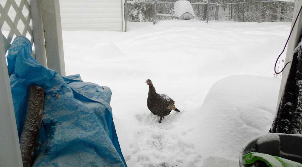 turkeys in New Brunswick