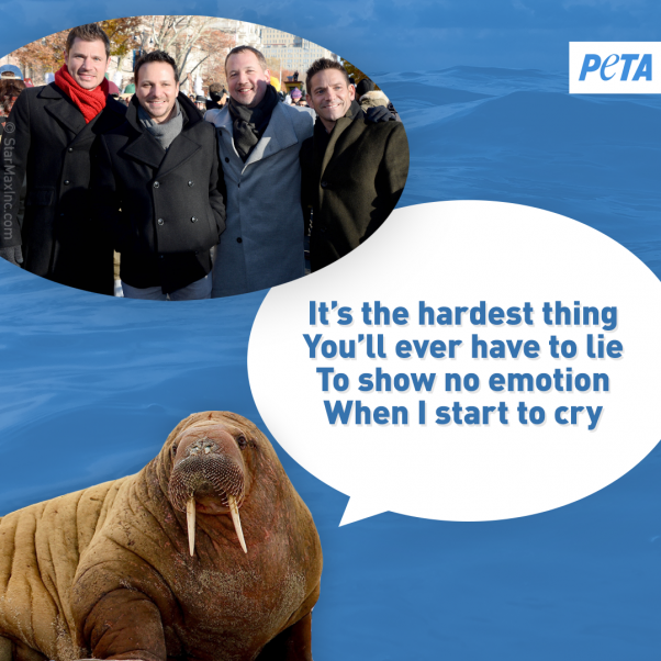 peta walrus image urging celebrities to save the whales and other animals at seaworld