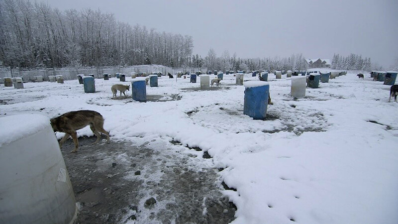 Dogs residing at a kennel run by 2017 Iditarod champion Mitch Seavey. These dogs are chained up with only a plastic barrel for shelter.