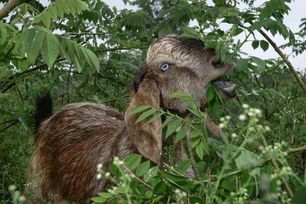 Kamal Rescued Goat