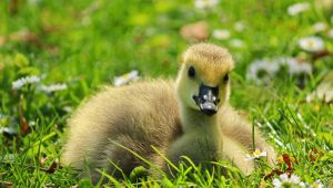 Urge Community to Halt Duck Roundup!